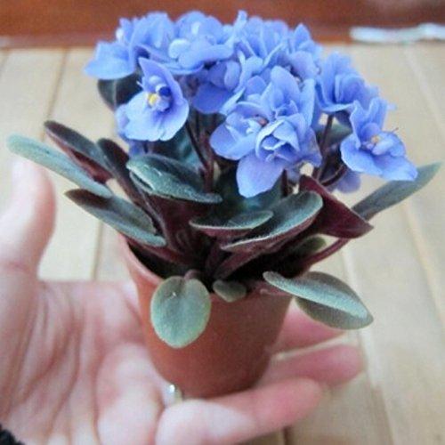 La nave libre hermosa planta de bonsai semilla de flor