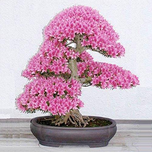 Bonsai flor semillas patio de 10pcs jardín flores de cerezo en maceta planta