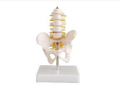 Modelo anatomico profesional medico pélvis 5 vértebras lumbares de tamaño medio it-015 artmed