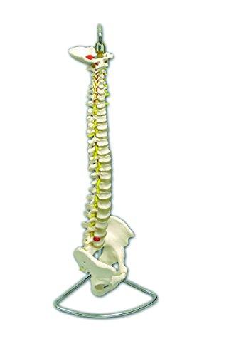 Columna vertebral flexible con pelvis