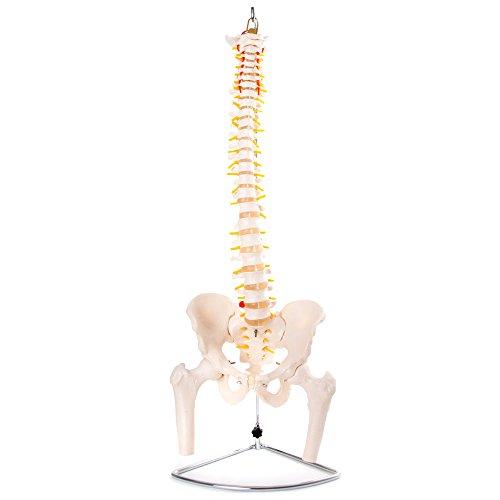 Modelo anatómico de columna vertebral flexible con pelvis y fémur
