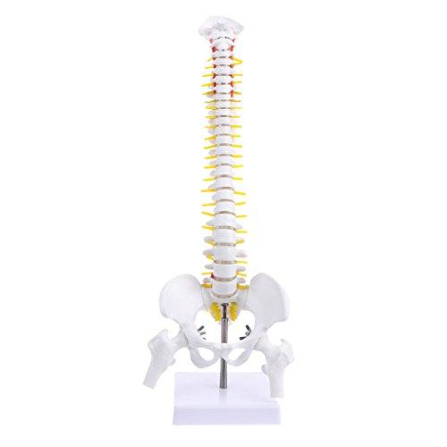 Lomo anatómico humano de 45 cm con anatomía pelvic