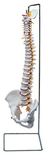 Pelvis columna vertebral flexible con soporte