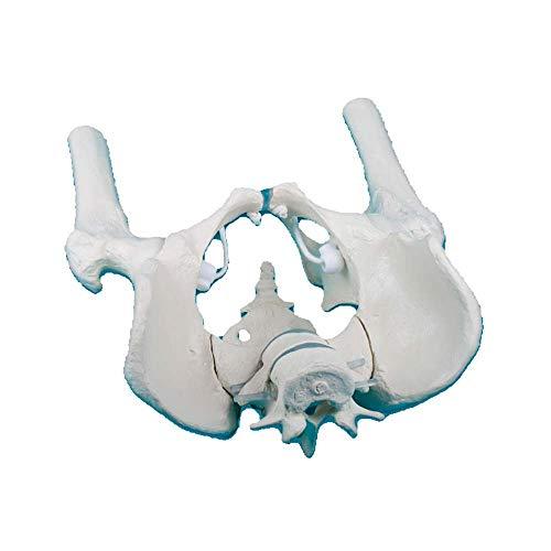 Erler-zimmer habitaciones pelvis masculina anatomía modelo movible cruz pierna muslo lumbar stümpfe