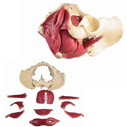 Anatomía modelo