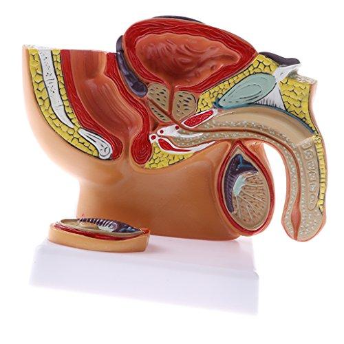 1: 2 práctica estatua anatómica de próstata de pelvis masculina humana de pvc